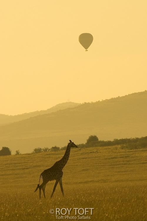A Masai giraffe with a hot air balloon overhead.