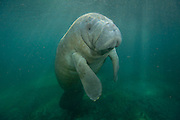 A Florida Manatee, Trichechus manatus latirostris, a rare and endangered species, swims in Three Sisters Spring in Crystal River, Florida, United States. Image available as a premium quality aluminum print ready to hang.