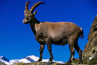 Ibex in the mountains above Zermatt (near the Matterhorn), Switzerland