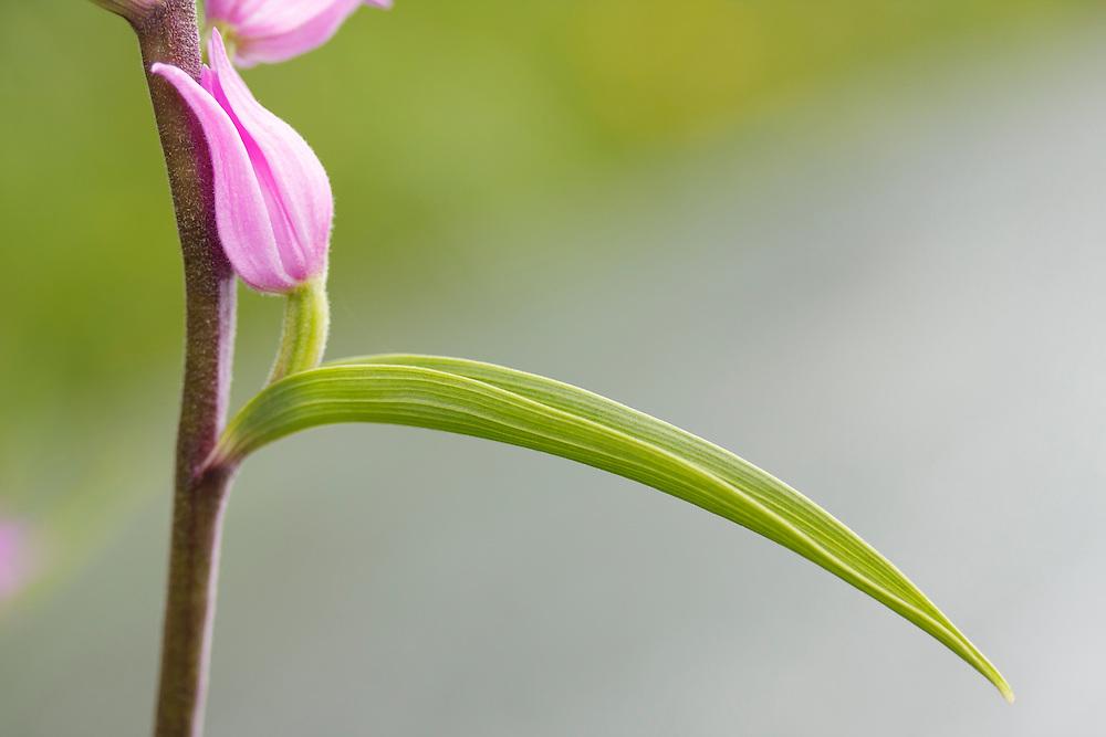 Red Helleborine (Cephalanthera rubra) Orchidaceae, Chauriat; Puy de Pileyre; Auvergne, France