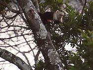 Costa Rica-White-headed Capuchin