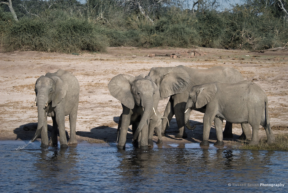 Young Kalahari Elephants drinking on a riverbank in Chobe National Park Botswana