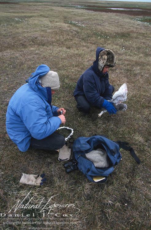 Denver Holt teaching Nuk about Snowy Owls. Barrow, Alaska