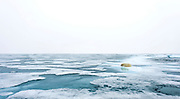 Polar bear on melting ice close to 82 degrees north in July 2012.