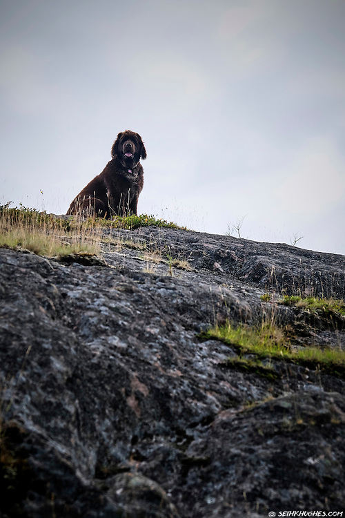 A Newfoundland dog proudly sits atop rocky, seaside slope in St. John's, Newfoundland, Canada.