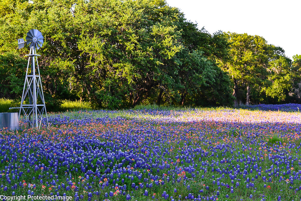 Field of Bluebonnets and Indian Paintbrush