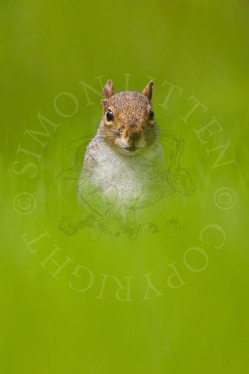 Eastern Grey Squirrel (Sciurus carolinensis) adult in grass, England