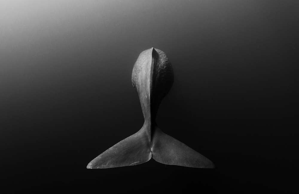 A sperm whale descends into the inky depth off Sri Lanka