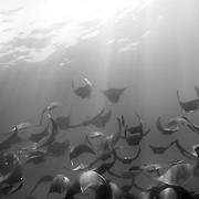 A school of Manta Rays feeds, gliding with open mouths through cloudy, plankton rich water off the coast of Panama. Many species of fish are diminishing in numbers as a result of pollution and overfishing. Sea-life worldwide is being drastically effected by these and other forms of human intrusion.
