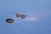 American Alligator surfacing. Savannah,GA