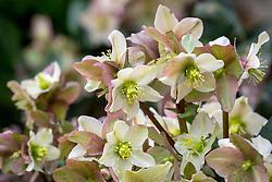Helleborus × nigercors 'Emma'