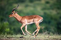 Impala ram running, Hluhluwe-iMfolozi Game Reserve, KwaZulu Natal, South Africa
