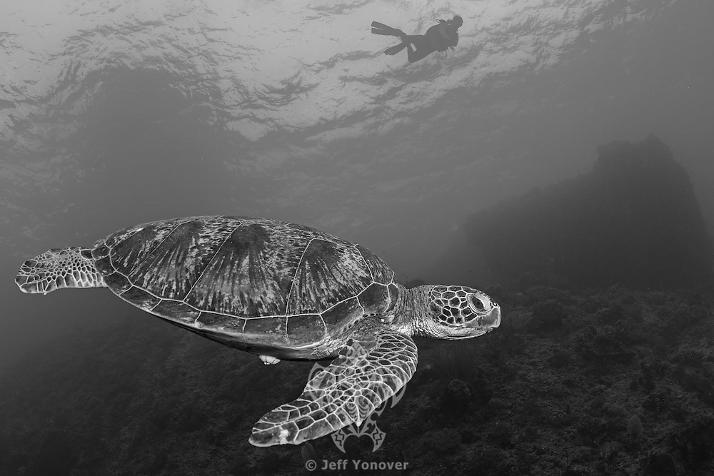 Green Sea Turtle and diver<br /> <br /> Shot in Indonesia