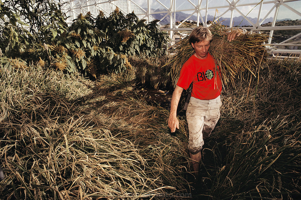 Biosphere 2 Project undertaken by Space Biosphere Ventures, a private ecological research firm funded by Edward P. Bass of Texas.  'Biospherian' Bernd Zabel harvesting rice inside Biosphere 2.  Biosphere 2 was a privately funded experiment, designed to investigate the way in which humans interact with a small self-sufficient ecological environment, and to look at possibilities for future planetary colonization.  1990