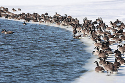 09 April 2005:    Canadian Goose stand and sit on the frozen edge and in the freezing water of a small lake in the winter.