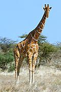 Reticulated giraffe, Giraffa camelopardalis reticulata. Samburu NP, Kenya.