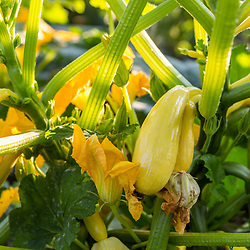 Summer squash at Barker's Farm in Stratham, New Hampshire.