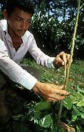 Cultivo del Cacao. Injerto de plantas de Cacao, este proceso garantiza la calidad del cacao 2002 (Ramón Lepage / Orinoquiaphoto)  Culture of the Cacao. Graft of plants of Cacao, this process guarantees the quality of cacao. 2002. (Ramon Lepage/Orinoquiaphoto)