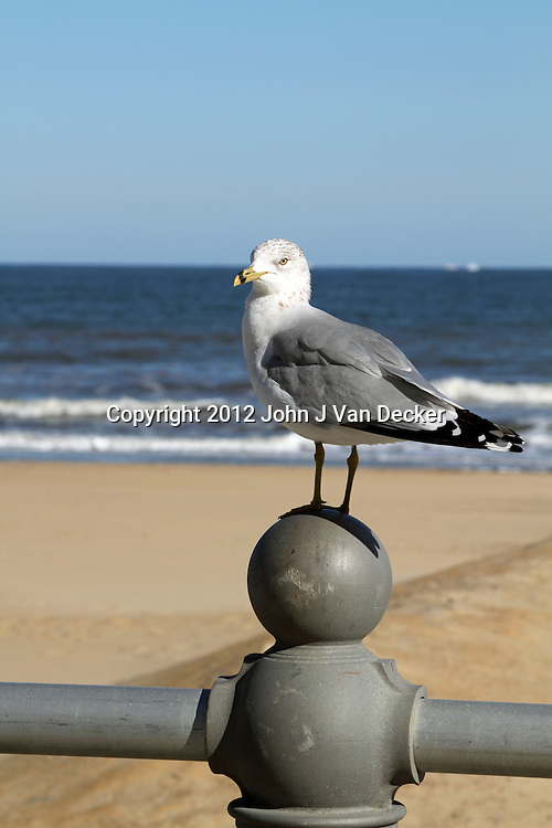 A seagull standing on the boardwalk railing in Virginia Beach, Virginia, USA