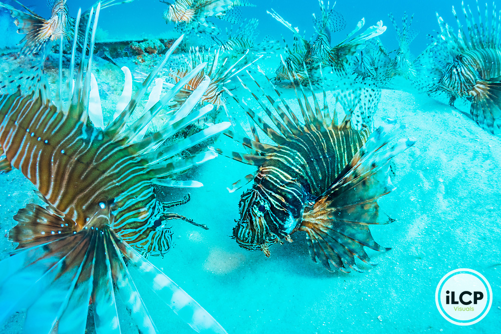 Red lionfish (Pterois volitans) are considered the worst invasive species case in human history. Native to the Indian and Pacific oceans they were first spotted in the Atlantic in the 1980's. By the early 2000's they had spread like a virus through the tropcial Caribbean wreaking havoc on native fish species and ecosystems.Image made off Destin, Florida.