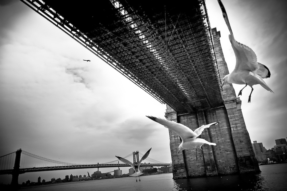 Three seaguls flying down the Brooklyn Bridge on the banks of the East River, New York