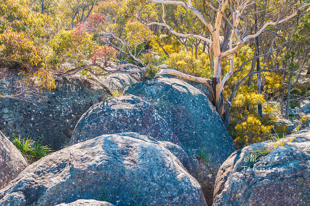 Tree growing out of granite rock, Underground Creek, Girraween National Park, Queensland, Australia