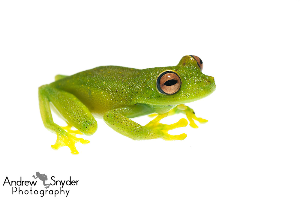 Demerara Falls tree frog (Hypsiboas cinerascens) - Kanuku Mountains, Guyana.
