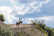 Caribou (Rangifer tarandus) walks up Polychrome Pass on the Denali Park Road in Denali National Park in Interior Alaska. Summer. Morning.