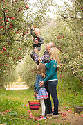 Father holds son up to pick the high apples while picking fruit as a family at Kelly's Orchard, Buhl, Idaho. MR