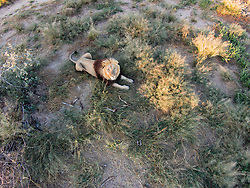 Aerial view of male Kalahari lion (Panthera leo), Kalahari Desert, Botswana Africa
