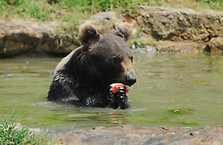 60263647<br />  A bear eats watermelons in water to relieve the summer heat at Zhuyuwan Park in Yangzhou, east China's Jiangsu Province, July 31, 2013. Staff members of the park provided ice, fruits as well as air conditioners to animals Wednesday here to help them cope with the relentless heat in Yangzhou, China<br /> Wednesday, July 31, 2013<br /> Picture by imago / i-Images<br /> UK ONLY