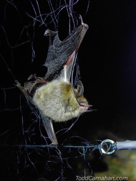long eared myotis in mist net chewing