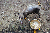 North Sulawesi, Bitung. Babirusa, local wild pig with teeth curved backwards. Zoo in Bitung.