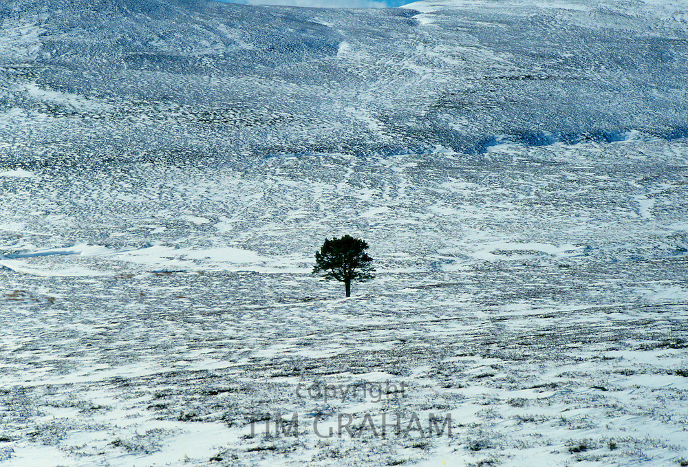 Sole pine tree in a snow covered field in the Cairngorms, Scotland, United Kingdom