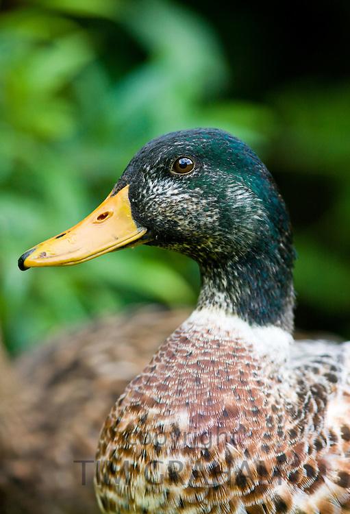 Male mallard duck, UK