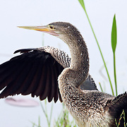 Anhinga (female) drying its wings