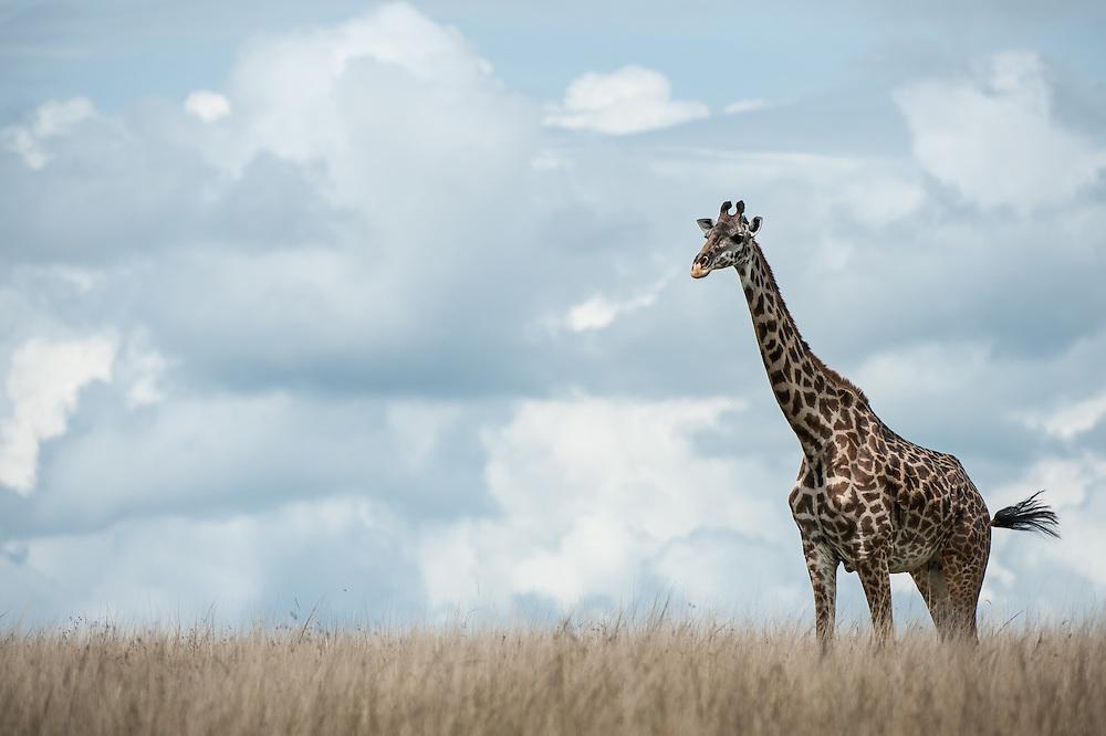 Masai Giraffe (Giraffa camelopardalis tippelskirch) walking in the grassland