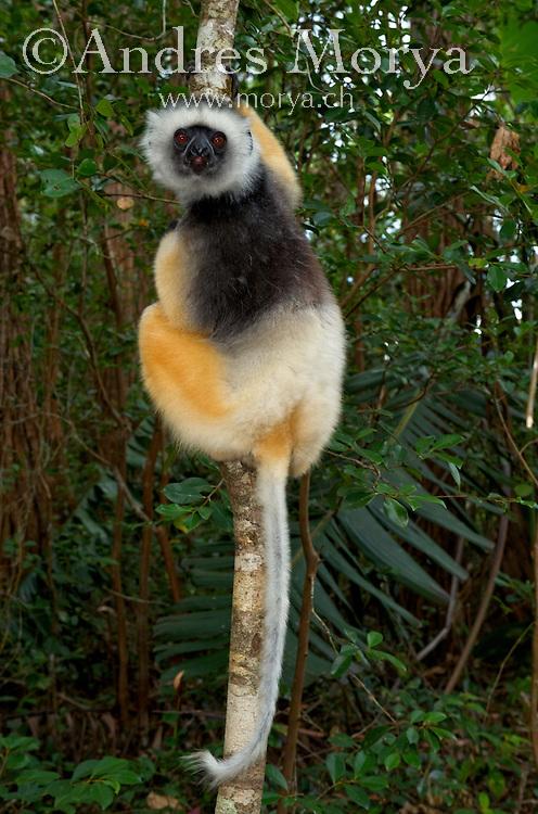 Diademed Sifaka (Propithecus diadema), adult, Andasibe-Mantadia National Park, Madagascar Image by Andres Morya