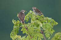 Water Pipit (Anthus spinoletta), the Carpathians; Carpathian Mountains; Bieszczady Mountains; Poland