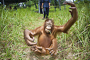 Bornean Orangutan<br /> Pongo pygmaeus<br /> Juvenile somersaulting in play area (approx. 5 years old)<br /> Orangutan Care Center, Borneo, Indonesia