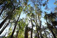 Detail of Pandanus trees, Magnetic Island, Queensland, Australia