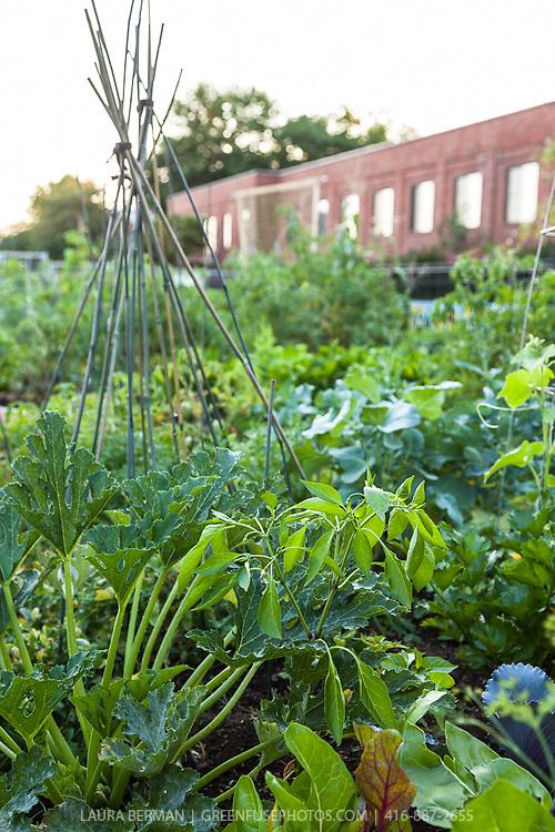 Urban community vegetable garden.