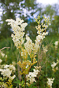 Meadowsweet, Filipendula ulmaria. Herbaceous wildflowers in hedgerow in the UK