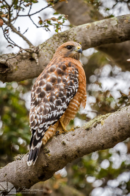 Red Shoulder Hawk, Monterey, California
