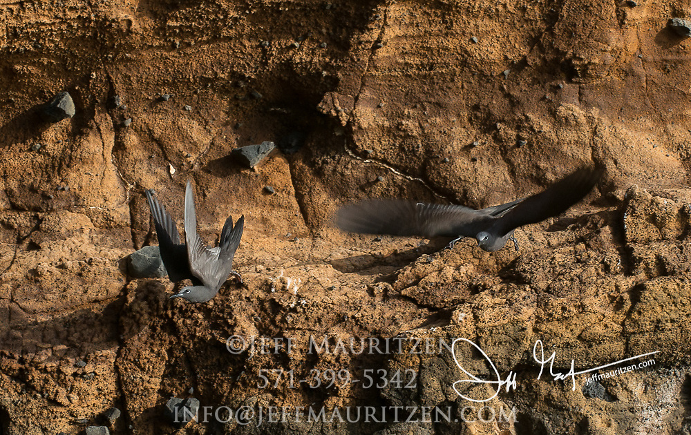 Brown noddys take flight from a cliff on Isabela island, part of the Galapagos islands of Ecuador.
