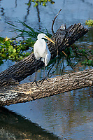 Great Egret (Ardea alba) perched in a tree on edge of Lake Chapala Jocotopec, Jalisco, Mexico