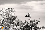 Brown Pelican in flight at Ten Thousand Islands NWR in Everglades National Park, Florida, USA