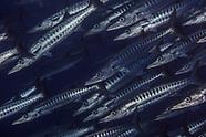 Sphyraena qenie (Blackmargin Barracuda)