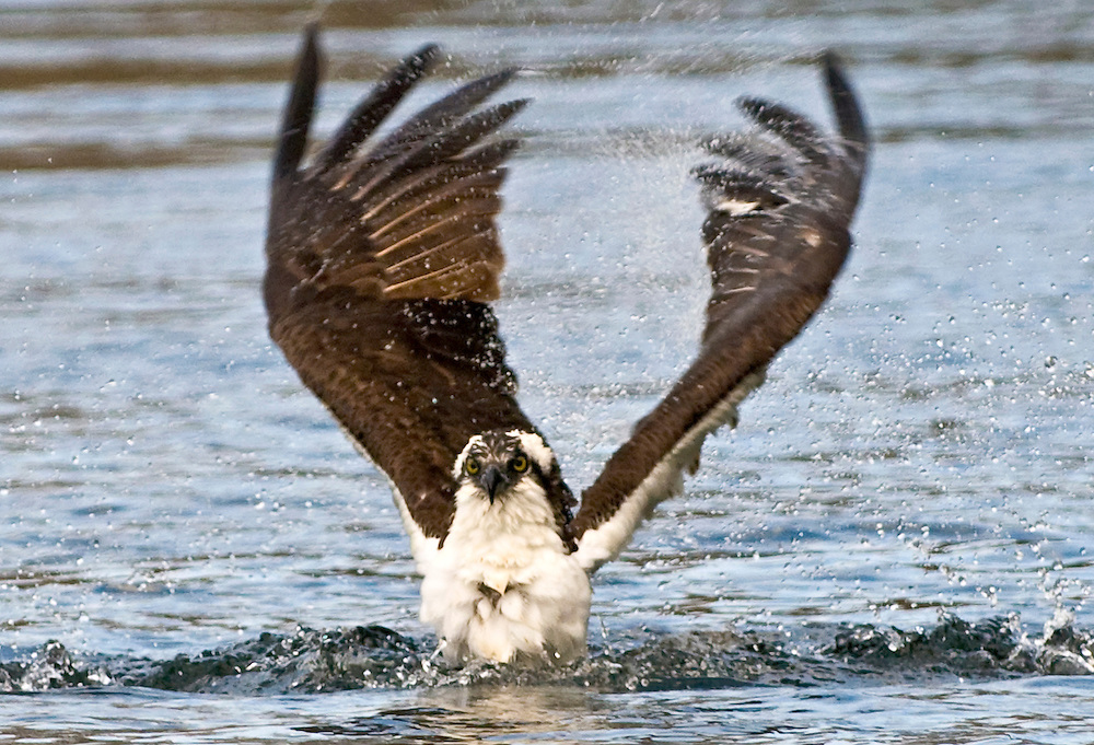 Ein Fischadler landet auf dem Wakulla Srings See in Florida,USA, Nordflorida  | Florida, Wakulla Springs,<br />
