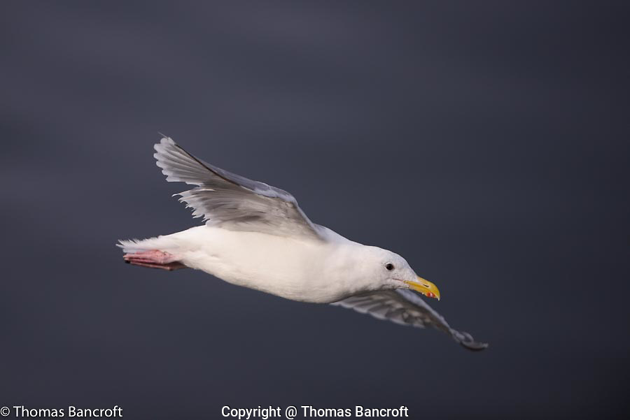 An adult glaucous-winged gull flies by the pier.